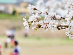 baseball-sakura